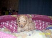 Caniche toy macho color marrón y hembra color negra