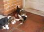 Beagle Tricolor 45 dias, disponible ya!!!