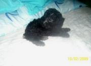 Cachorros de caniche toy en color gris super diminutos con pedigre de fca