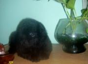 Estás son las caniches toy en color negro que tengo para vos!!!