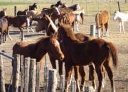 Venta de caballos (para polo, salto, pato y de andar)