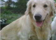 Busco perra Golden