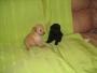 Venta cachorro caniche toy negro azabache
