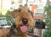 Cachorros Airedale Terrier con el mejor pedigree