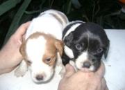 BRETON ESPAÑOL cachorros  PUROS...!! cel 15 4537 1641 ..CAPITAL FEDERAL