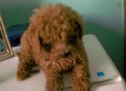 Cachorros de caniche toy de color apricot oscuro