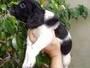 BRETON ESPAÑOL cachorros PUROS..!! cel 15 4537 1641 Capital Federal