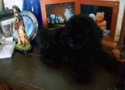 Cachorros de caniche toy negros azabaches en venta