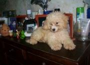 Cachorros de caniche toy apricots fca en venta