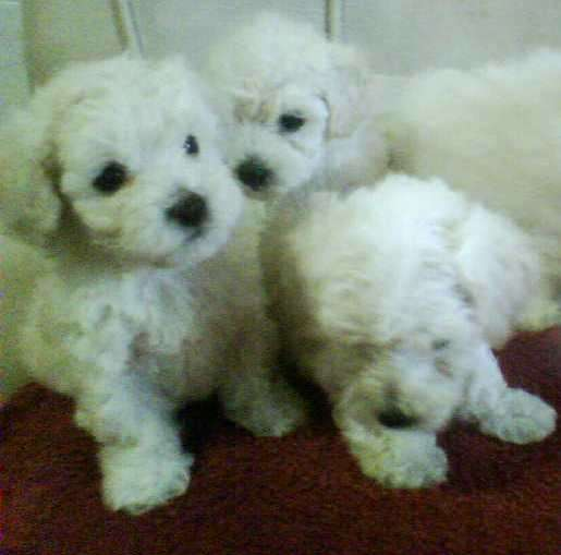 Caniches mini toy blancos preciosos