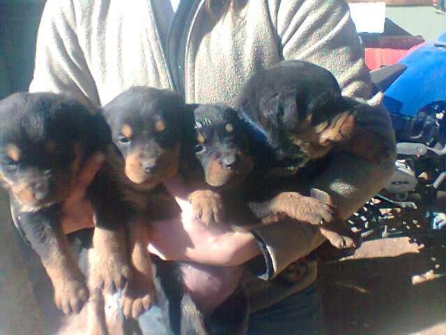 Vendo hermosos cachorros rottweiler , 30 dias