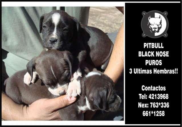 Pitbull cachorras black nose puras ultimas 3 !!!