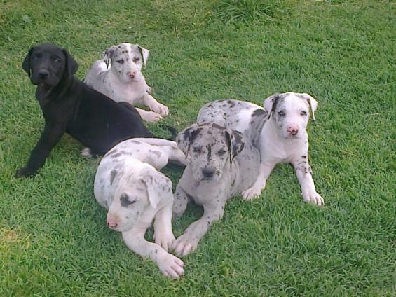 Vendo cachorros gran-danes