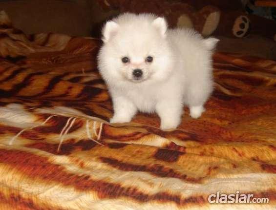 12 semanas cachorros de pomerania