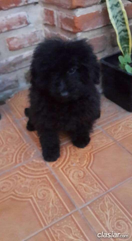 Bellisimo caniche toy negro super pequeño a la venta