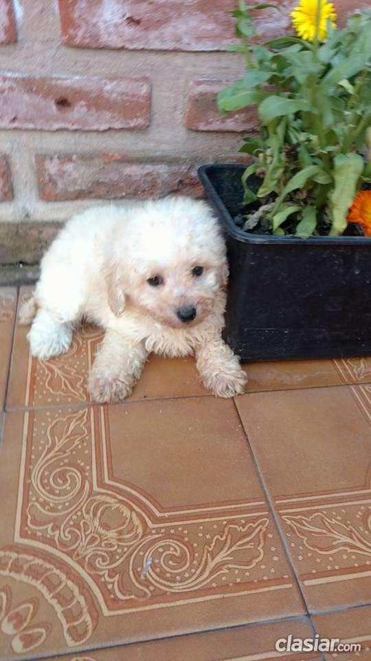 Cachorras de caniche toy blancas inscriptas en fca a la venta