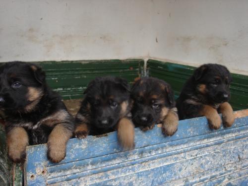 Fotos de Ovejero aleman , de muy buen pedigree , para servicios 4
