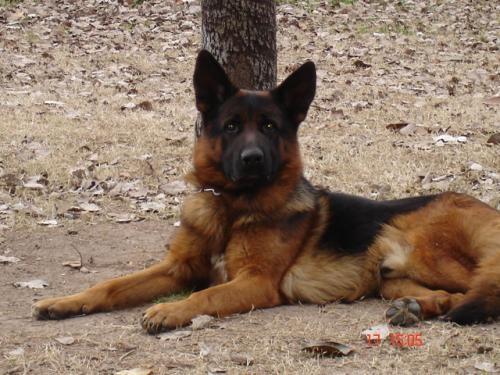 Fotos de Ovejero aleman , de muy buen pedigree , para servicios 2