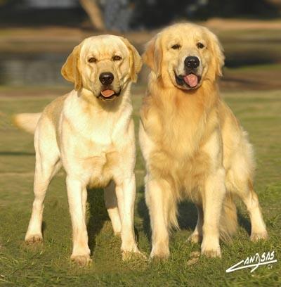 Cachorros golden, labrador bulldog ingles y pug carlino
