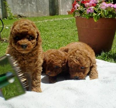 Cachorro de caniche toy de color rojo pimenton