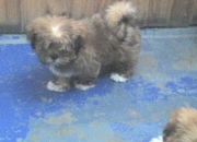 Liquido!! cachorros lhasa apsos raza peqeña d compania