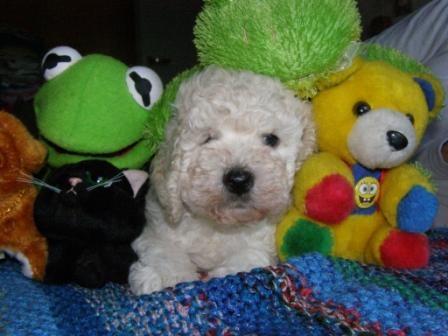 Cachorro caniche toy macho blanco