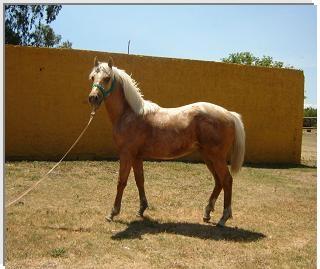 Caballos cuarto de milla en Capital Federal - Animales / Mascotas | 5356