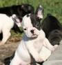 Francés bulldog cachorros para su aprobación.