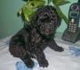 En venta Cachorros de Caniche Toy varios colores