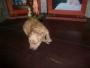 Cachorras caniche toy apricot