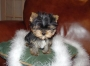 Cachorros de Yorkshire terrier para la venta