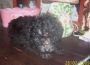 Cachorros de Caniche toy rojos , marron chocolate, apricots , blancos ,negros y grises