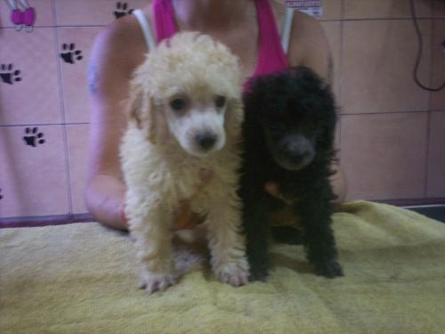 Caniche toy - super mini - pedigree fca - macho blanco