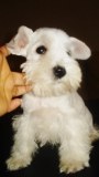 schnauzer mini macho blanco de 5 meses