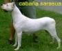 CRIADERO DOGO ARGENTINO CABAÑA SARASUA