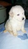 Pequeñisimo cachorro de Caniche toy blanco
