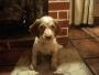 vendo cachorro breton español puro ultimo!!