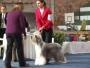 Vendo hermosos cachorros Bearded Collie