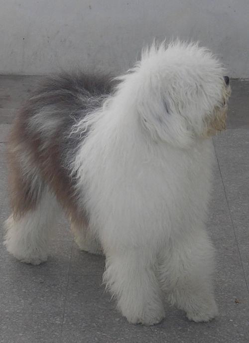 Cachorros de viejo pastor ingles con pedigree