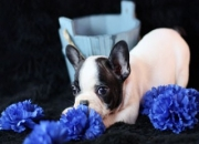 Belleza masculina y femenina bulldog