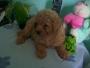 Cachorras de Caniche toy de 6 meses en