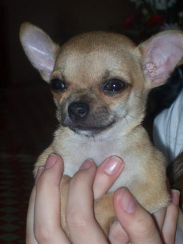 Chihuahua macho c/ped pelo corto 24cts