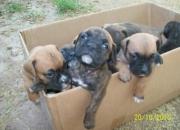 cachorros  BOXERS