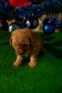 Cachorros de Caniche toy apricot bien intenso