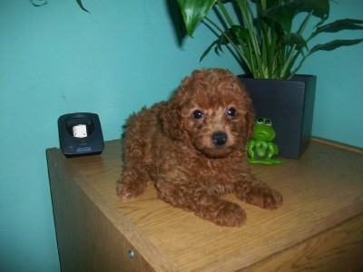 Cachorra de caniche toy roja inscripta en fca