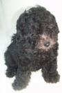 Diminuto cachorro de Caniche toy gris en venta
