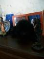 Caniche toy negra de 4 meses en venta