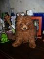 Diminutisima Hembra Caniche toy roja de 3 meses en venta