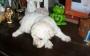Cachorra de Caniche toy blanca para su reserva en venta