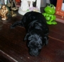 Cachorra de Caniche toy negra bien diminuta en venta